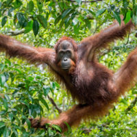 Great Ape on the tree. Central Bornean orangutan  ( Pongo pygmaeus wurmbii ) in natural habitat. Wild nature in Tropical  Rainforest of Borneo.