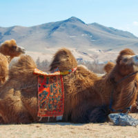 camel at mongolian desert